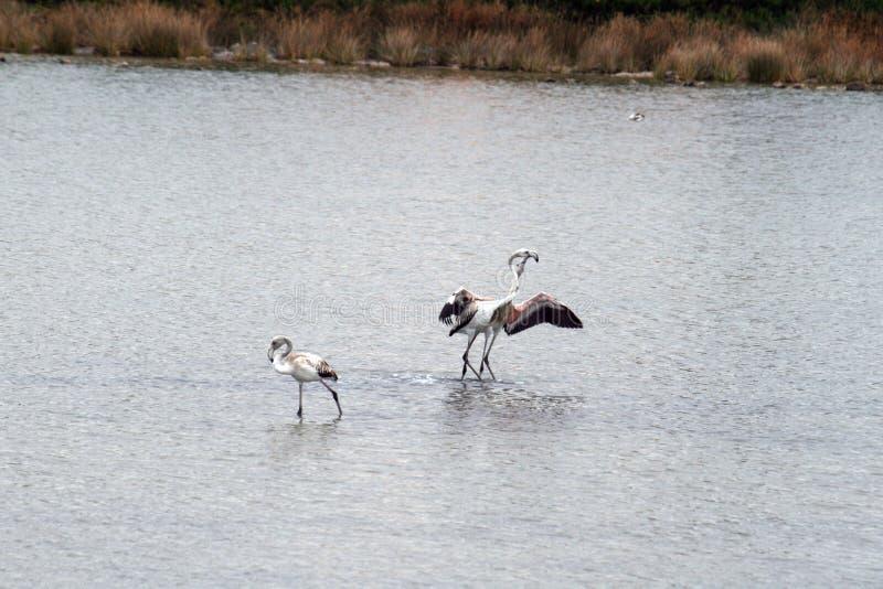Dança dos flamingos fotografia de stock royalty free