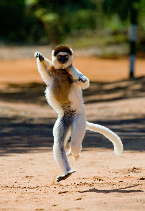 A dança Sifaka está na terra Retrato engraçado madagascar foto de stock royalty free