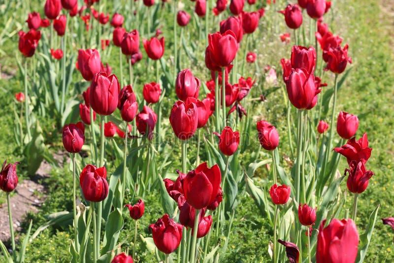 Dança vermelha deliciosa das tulipas fotos de stock royalty free