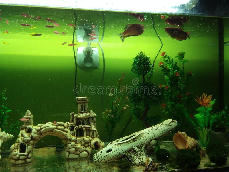Dan-gurami Fisch pflanzt künstliche Oberteile in einem großen Aquarium lizenzfreies stockfoto