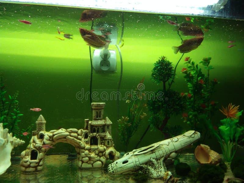 Dan gurami ryba zasadza sztuczne skorupy i suwaczek w wielkim akwarium zdjęcie stock