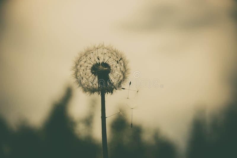Danadelion - flor sola imagen de archivo libre de regalías
