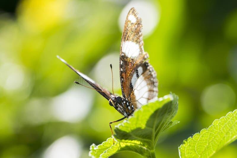 Danaid Eggfly motyl zdjęcie stock