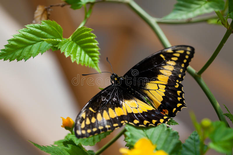 Download Danaidae butterfly stock photo. Image of animal, biological - 29293954