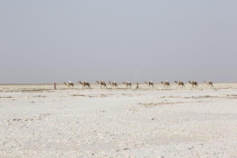 Danakil Etiopien, Februari 22 2015: Att bära för kamelhusvagn saltar i Afrika den Danakil öknen, Etiopien royaltyfri fotografi