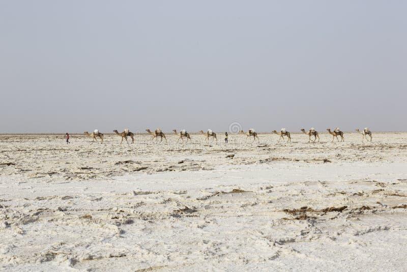 Danakil Etiopien, Februari 22 2015: Att bära för kamelhusvagn saltar i Afrika den Danakil öknen, Etiopien arkivbild