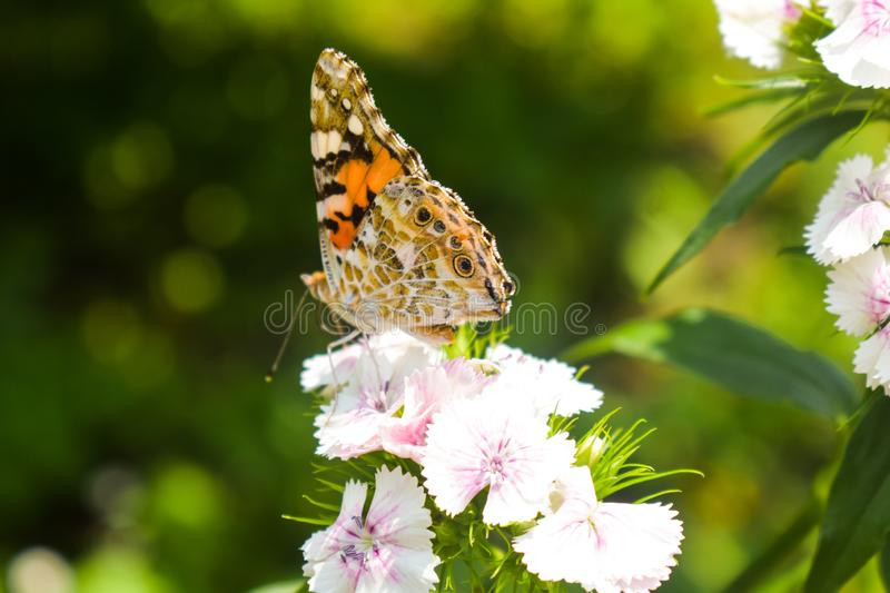 Danaus genutia, the common tiger sitting on the flower in the garden. Close-up macro styled stock photography of colorful. Danaus genutia, the common tiger royalty free stock images