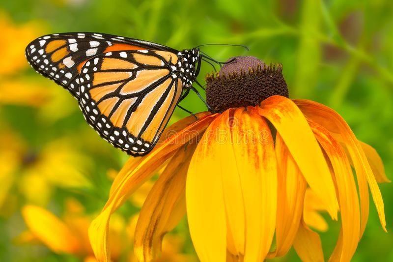 danaus monarchy plexippus motyla zdjęcie stock