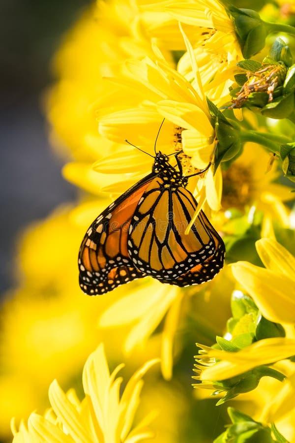 Danaus plexippus della farfalla di Moanrch sul flo giallo luminoso del giardino immagini stock libere da diritti