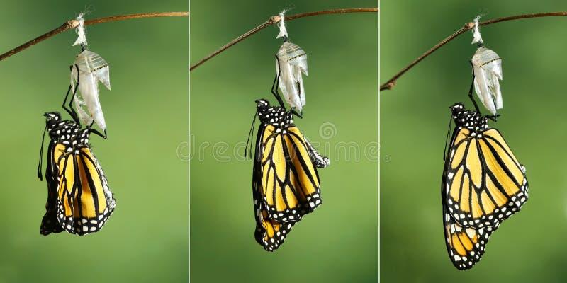 Danaus plexippus della farfalla di monarca che asciuga le sue ali dopo il meta immagine stock