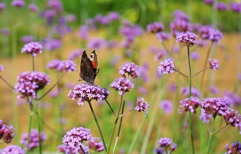 Danaus plexippus della farfalla di monarca su un fiore lilla fotografia stock