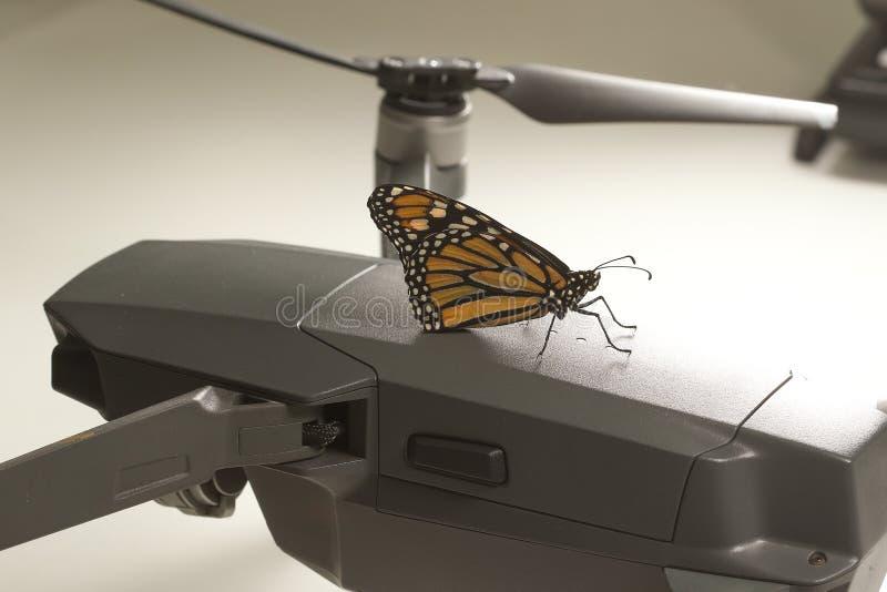 Danaus plexippus della farfalla di monarca sul fuco fotografia stock