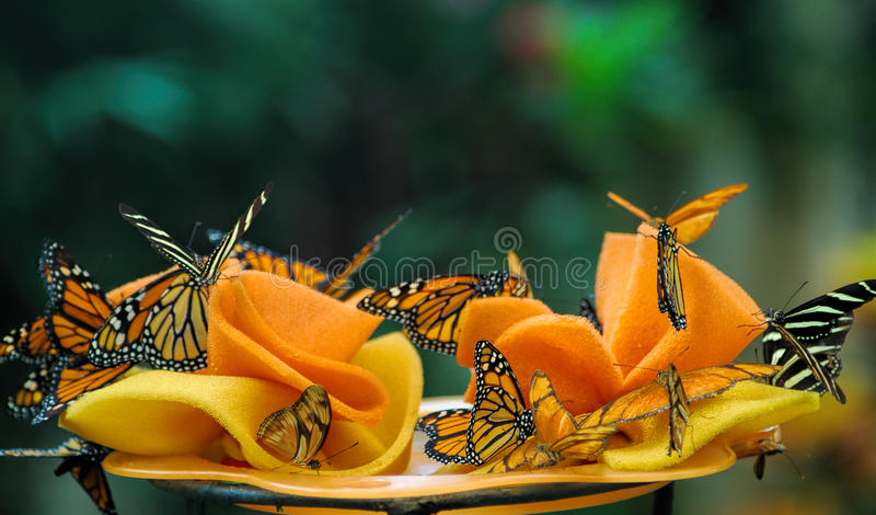 Danaus plexippus or Monarch butterflies. Delicate Monarch butterflies also known as: milkweed, common tiger, wanderer, and black veined brown, landing on a stock images