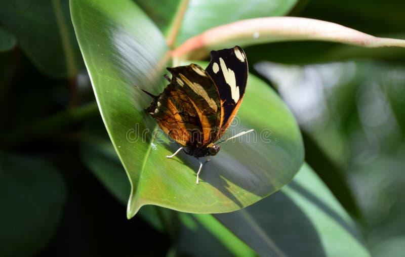 Danauschrysippus, duidelijke tijgervlinder op een groen blad royalty-vrije stock foto's
