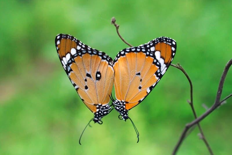 Danauschrysippus of het duidelijke tijgervlinder koppelen stock fotografie