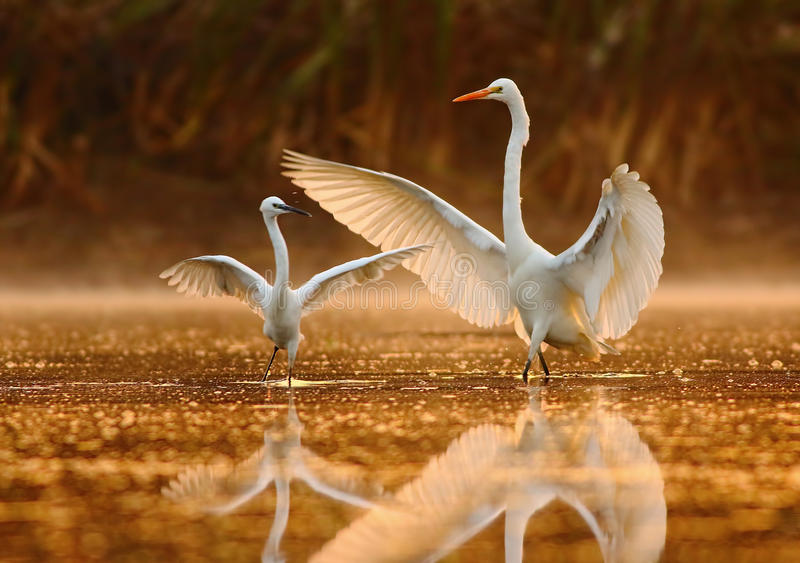 The Dance lesson. Beautiful image of great and little egret at sunrise time in golden light stock photo