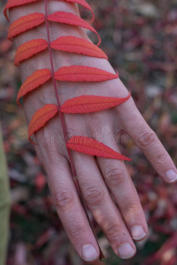 Dancer hand, Red leaves of a plant along the hand. Red leaf stock images