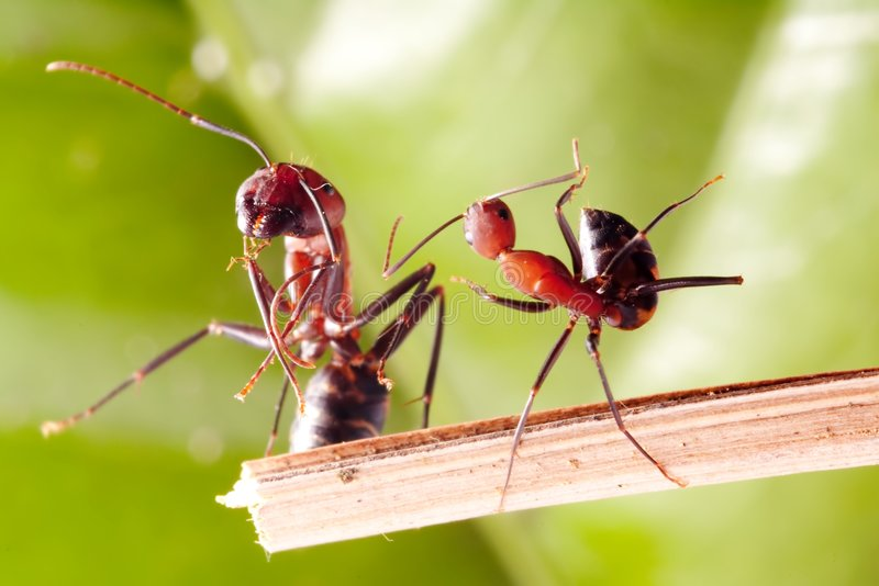 Dancing ANT. It's close up ANT photo looks like dancing Camponotus rothneyi var.taivanae stock images