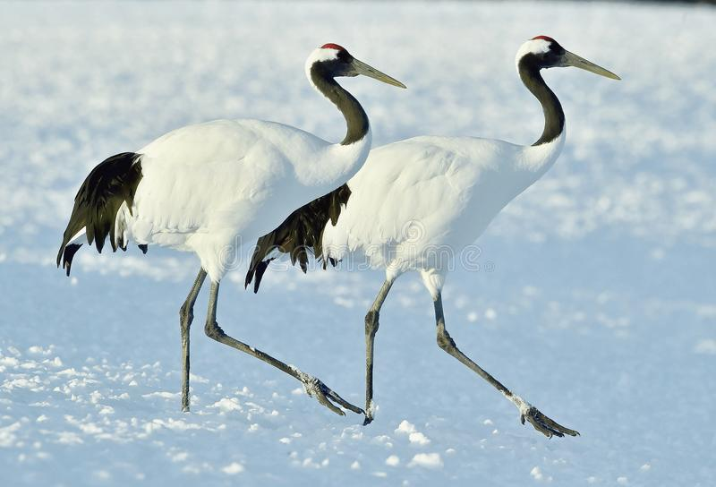 Dancing Cranes. The red-crowned crane also called the Japanese crane or Manchurian crane. Dancing Cranes. The red-crowned crane. Scientific name: Grus royalty free stock photos