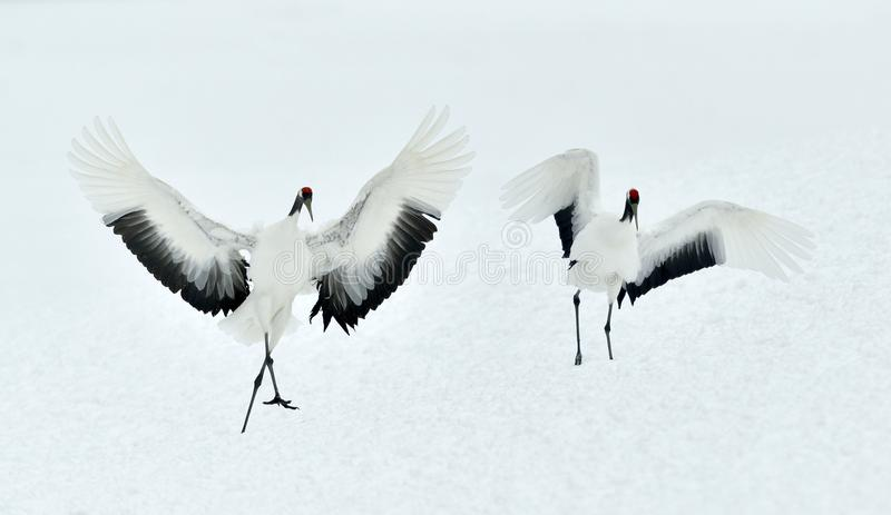 Dancing Cranes. The red-crowned crane Sceincific name: Grus japonensis, also called the Japanese crane or Manchurian crane, is a. Large East Asian crane royalty free stock photo