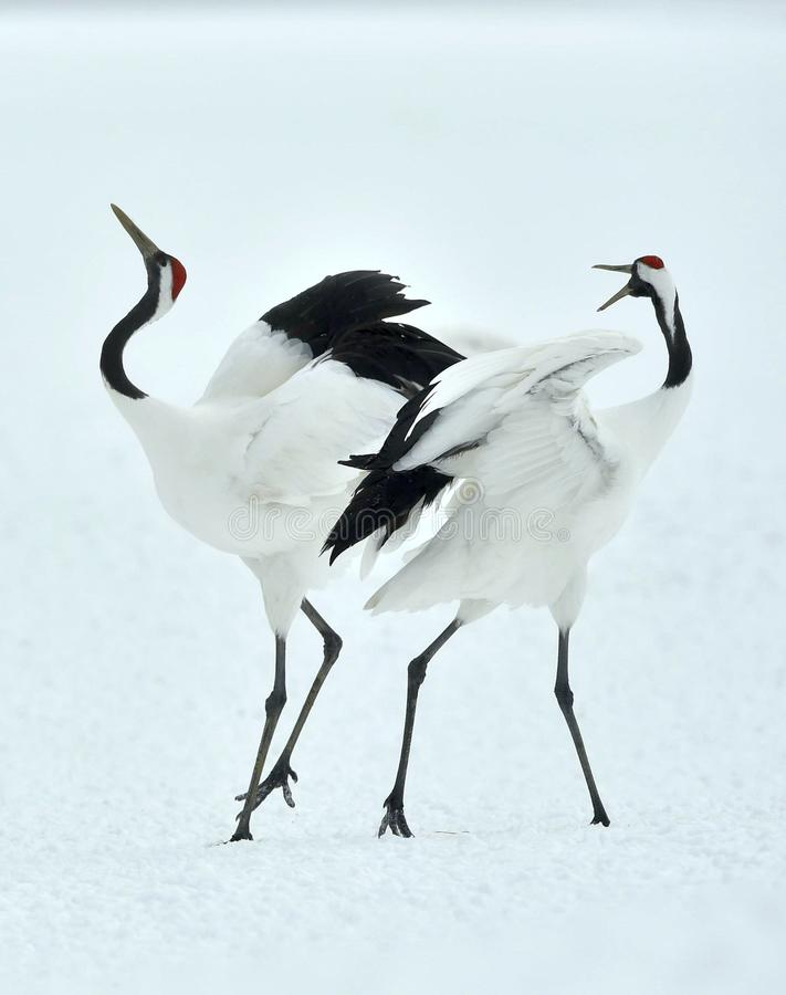 Dancing Cranes. The red-crowned crane Sceincific name: Grus japonensis. Also called the Japanese crane or Manchurian crane, is a large East Asian crane stock photos
