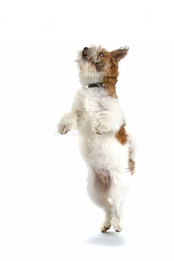 Dancing Dog royalty free stock image