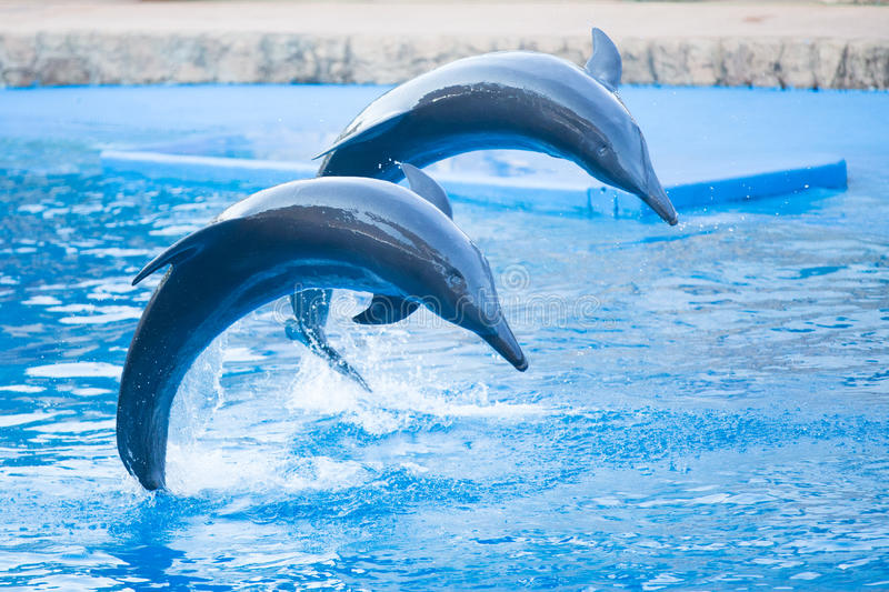 Dancing dolphins. Two bottlenose dolphins jumping in formation in an aquarium stock image
