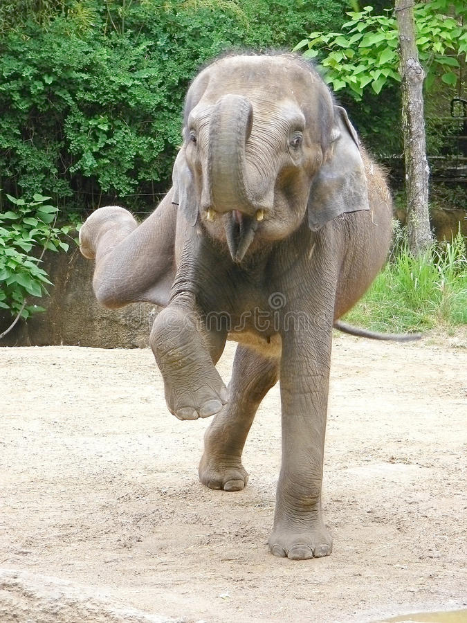 Free Dancing Elephant Royalty Free Stock Images - 73302389