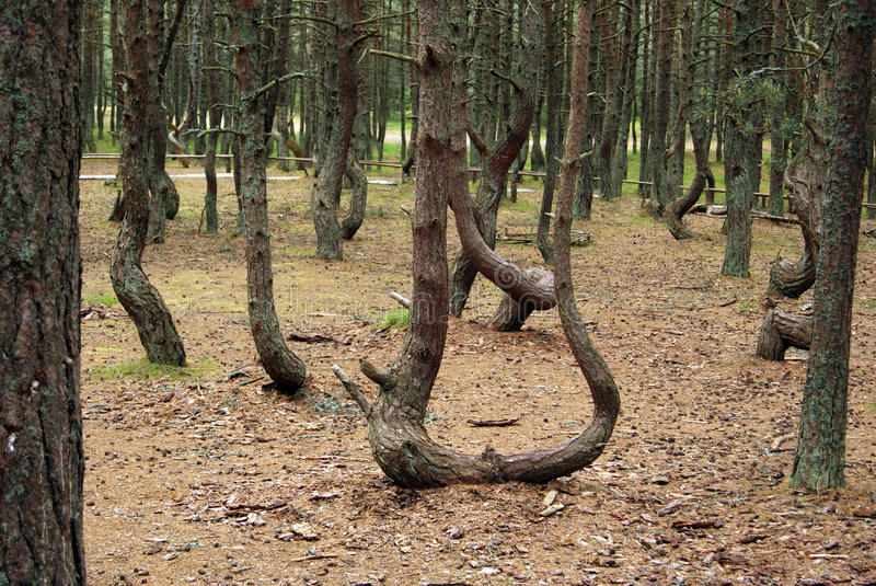 Dancing forest. Trees grow in a geomagnetic zone extremely. Russia, Kaliningrad area, Coast of Baltic sea stock image
