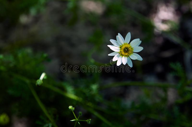 Dancing of the lonely daisy beauty stock photography