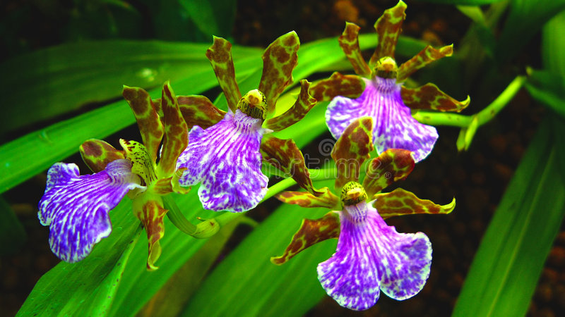 Dancing Orchids royalty free stock photos
