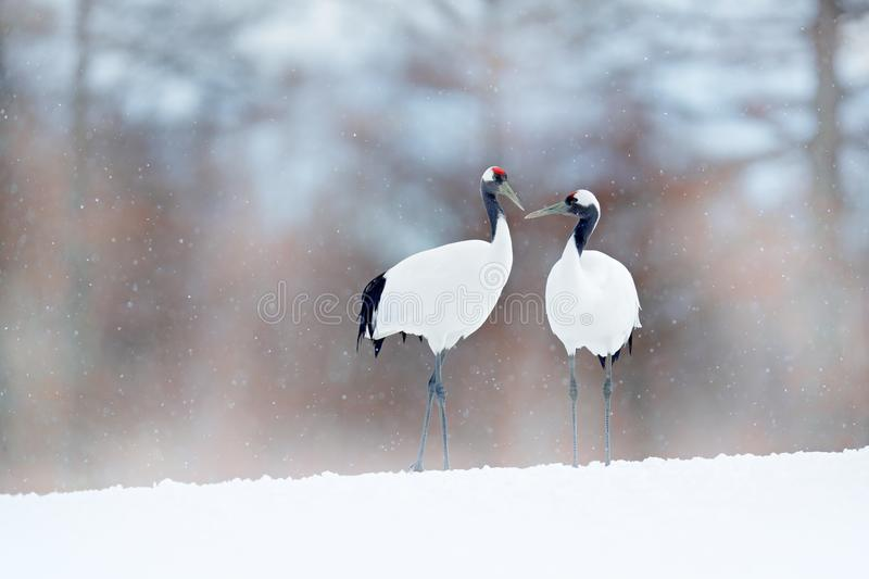 Dancing pair of Red-crowned crane with open wing in flight, with snow storm, Hokkaido, Japan. Bird in fly, winter scene with snow. stock photo