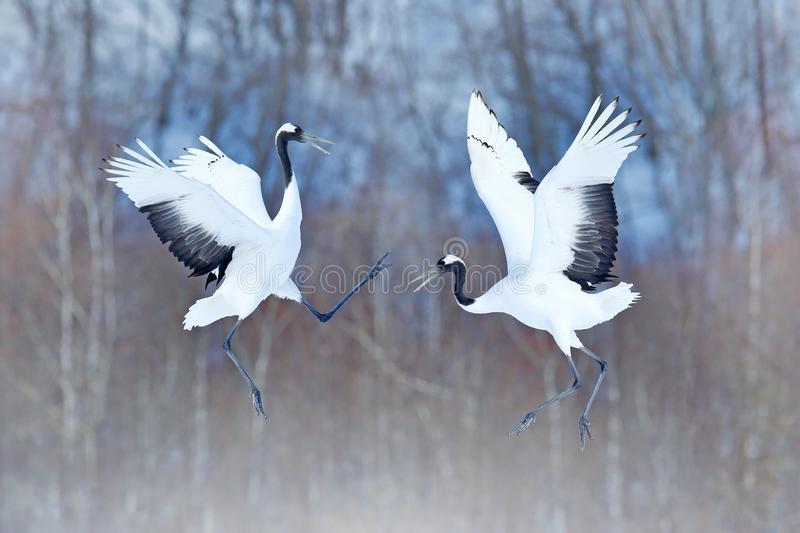 Dancing pair of Red-crowned crane with open wings, winter Hokkaido, Japan. Snowy dance in nature. Courtship of beautiful large whi. Te birds in snow. Animal love stock images