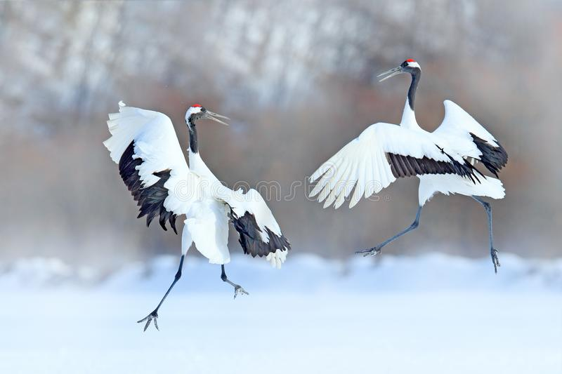 Dancing pair of Red-crowned crane with open wings, winter Hokkaido, Japan. Snowy dance in nature. Courtship of beautiful large whi. Te birds in snow. Animal love stock photography