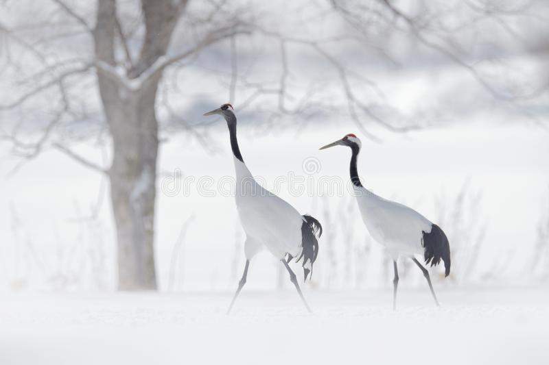 Dancing pair of Red-crowned crane, snow storm, Hokkaido, Japan. Bird in fly, winter scene with snow. Snow dance in nature. Wildlif royalty free stock images