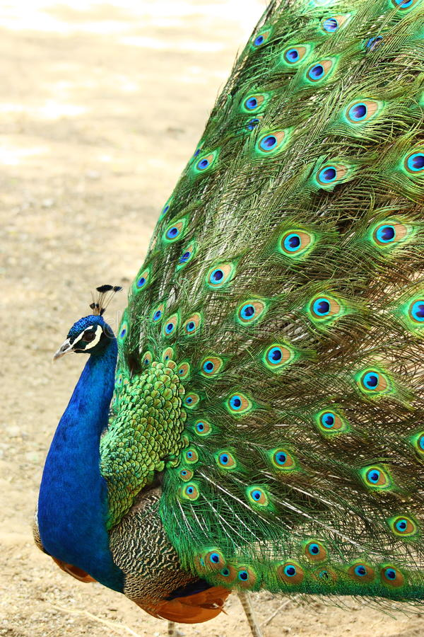 Dancing peacock royalty free stock photography