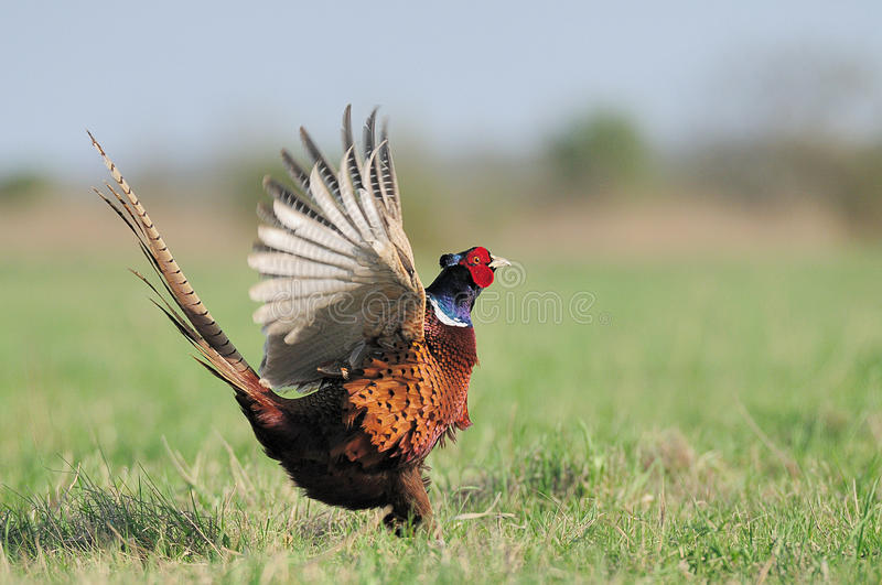 Dancing Pheasant royalty free stock image