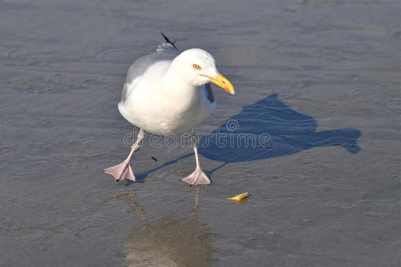 Download Dancing Seagull stock image. Image of horizontal, dance - 23080267