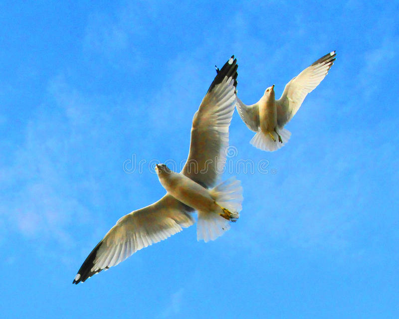 Dancing Seagulls royalty free stock photo