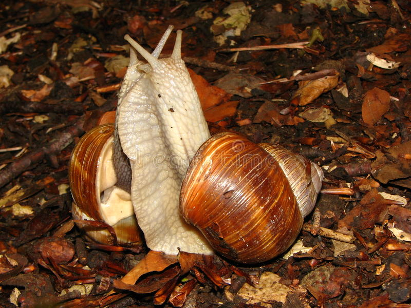 Dancing snails royalty free stock image