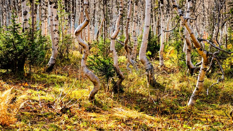 Dancing trees in the autumn forest. stock image