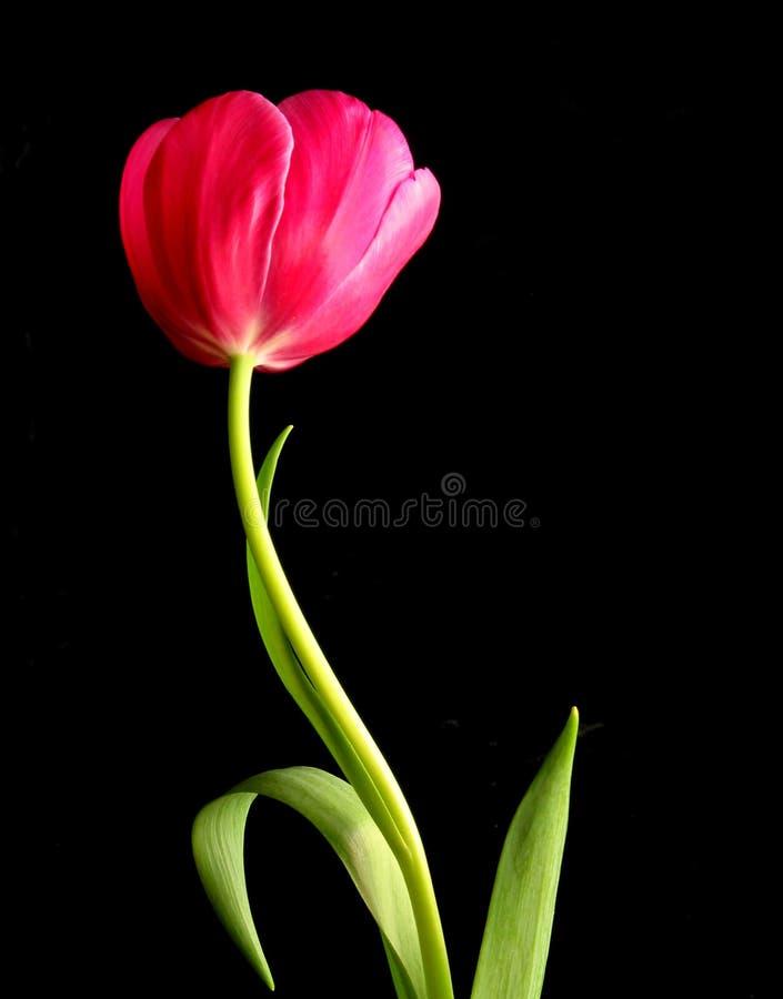 Dancing Tulip royalty free stock photo