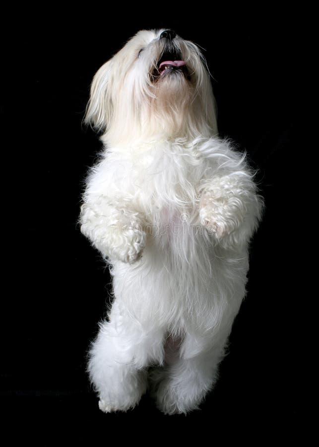 Dancing white dog stock photo