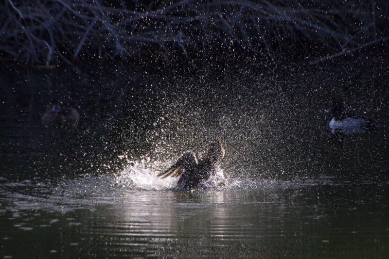 Dancingowa kaczka zdjęcie royalty free