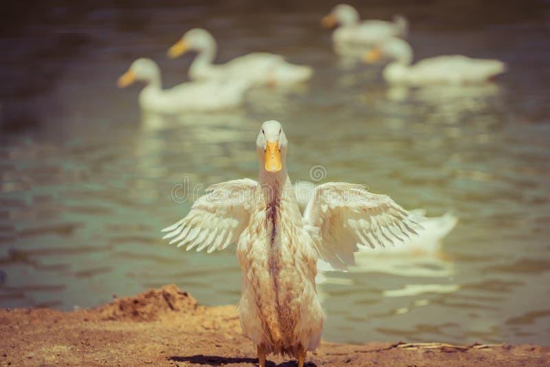 Dancingowa kaczka obraz royalty free