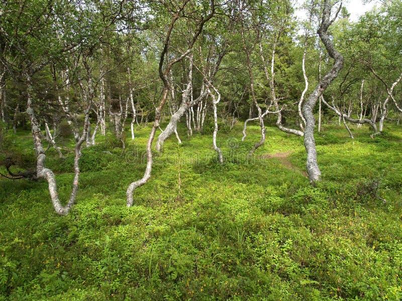 Dancingowe brzozy na Dużej Solovki wyspie, Rosja obraz stock