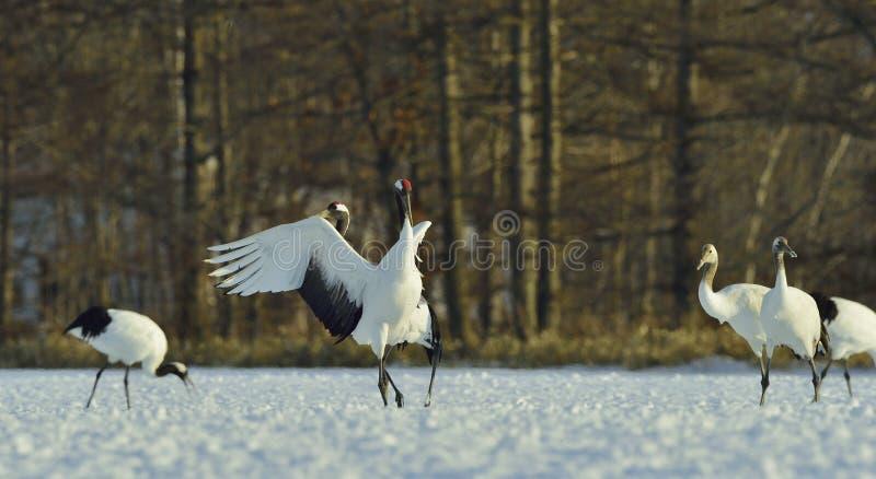 Dancingowi żurawie Koronujący dźwigowy Naukowy imię: Grus japonensis zdjęcie stock