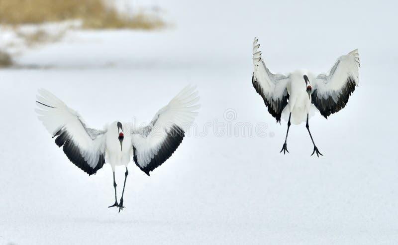 Dancingowi żurawie Koronujący dźwigowy Sceincific imię: Grus japonensis, także dzwoniący Japoński żuraw lub Mandżurski żuraw, jes fotografia stock