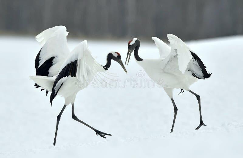 Dancingowi żurawie Koronujący dźwigowy Sceincific imię: Grus japonensis, także dzwoniący Japoński żuraw lub Mandżurski żuraw, jes obrazy royalty free
