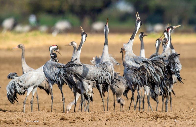 Dancingowi żurawie w ornym polu Pospolity żuraw, Naukowy imię: Grus grus, Grus communis obraz stock